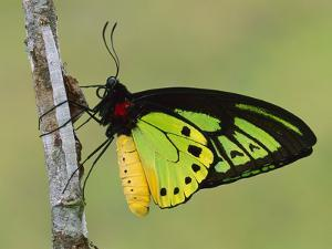Cairns Birdwing (Ornithoptera Priamus) Butterfly, Papua New Guinea by Thomas Marent/Minden Pictures