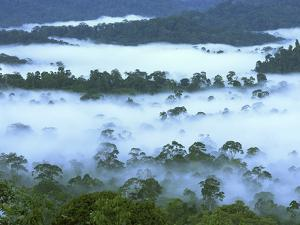 Canopy of Lowland Rainforest at Dawn with Fog, Danum Valley Conservation Area, Borneo, Malaysia by Thomas Marent/Minden Pictures