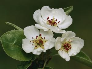 Common Pear (Pyrus Communis) Flowers, Switzerland by Thomas Marent/Minden Pictures