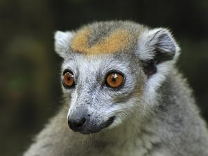 Crowned Lemur (Eulemur Coronatus) Female, Ankarana Special Reserve, Madagascar by Thomas Marent/Minden Pictures