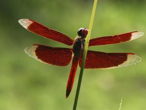 Dragonfly, Danum Valley Conservation Area, Borneo, Malaysia by Thomas Marent/Minden Pictures
