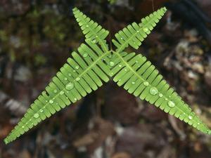 Fern with Water Drops in Bako Nat'l Park, Sarawak, Malaysia by Thomas Marent/Minden Pictures