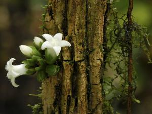 Flowers Growing Out a Branch, Danum Valley Conservation Area, Borneo, Malaysia by Thomas Marent/Minden Pictures