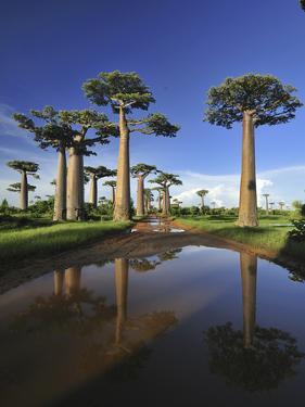Grandidier's Baobab (Adansonia Grandidieri) Forest Lining Road Near Morondava, Madagascar by Thomas Marent/Minden Pictures