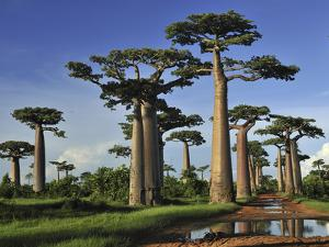 Grandidier's Baobab (Adansonia Grandidieri) Forest Near Morondava, Madagascar by Thomas Marent/Minden Pictures