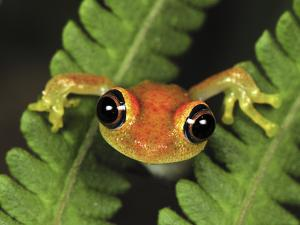 Green Bright-Eyed Frog (Boophis Viridis) on Fern, Andasibe-Mantadia Nat'l Park, Madagascar by Thomas Marent/Minden Pictures