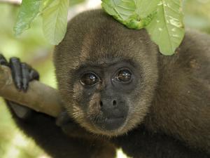 Humboldt's Woolly Monkey (Lagothrix Lagotricha) Portrait, Amacayacu Nat'l Park, Colombia by Thomas Marent/Minden Pictures