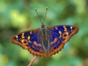 Lesser Purple Emperor (Apatura Ilia) Butterfly, Switzerland by Thomas Marent/Minden Pictures