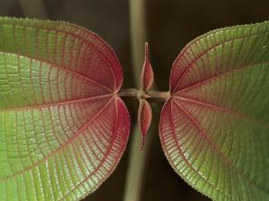 Melastoma (Melastomataceae) Plant, Showing New Leaf Growth, Manu Nat'l Park, Peru by Thomas Marent/Minden Pictures