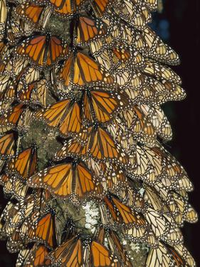 Monarch (Danaus Plexippus) Butterfly Cluster, Michoacan, Mexico by Thomas Marent/Minden Pictures
