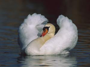 Mute Swan (Cygnus Olor) Male Threat Displaying, Switzerland by Thomas Marent/Minden Pictures