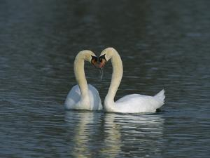 Mute Swan (Cygnus Olor) Pair Courting, Switzerland by Thomas Marent/Minden Pictures