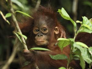 Orangutan (Pongo Pygmaeus) Baby, Camp Leaky, Tanjung Puting Nat'l Park, Indonesia by Thomas Marent/Minden Pictures