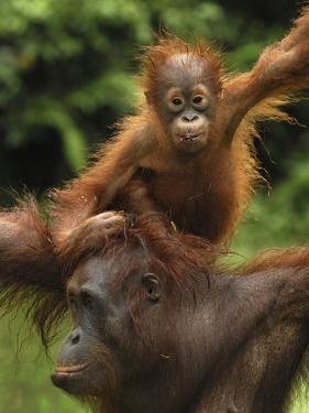 Orangutan (Pongo Pygmaeus) Female with Baby, Camp Leaky, Tanjung Puting Nat'l Park, Indonesia by Thomas Marent/Minden Pictures