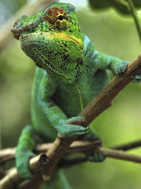Panther Chameleon (Chamaeleo Pardalis) Male, Lokobe Nature Special Reserve, Madagascar by Thomas Marent/Minden Pictures
