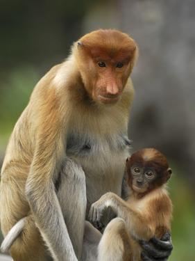 Proboscis Monkey (Nasalis Larvatus) Female with Baby, Sabah, Borneo, Malaysia by Thomas Marent/Minden Pictures