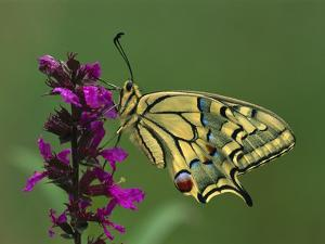 Swallowtail (Papilio Machaon) Butterfly, Switzerland by Thomas Marent/Minden Pictures