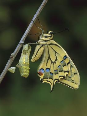 Swallowtail (Papilio Machaon) Emerged from Chrysalis, Switzerland by Thomas Marent/Minden Pictures