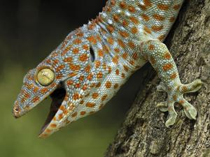 Tokay Gecko (Gekko Gecko), in Defensive Posture, Thailand by Thomas Marent/Minden Pictures