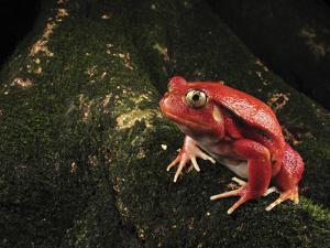 Tomato Frog (Dyscophus Antongilii), Rare, Only Found in the Town of Maroantsetra, Madagascar by Thomas Marent/Minden Pictures