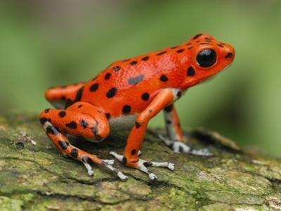Strawberry Poison Dart Frog (Dendrobates Pumilio), Bastimentos National Park, Bocas Del Toro by Thomas Marent