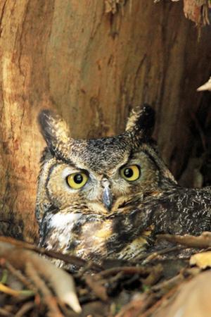 Great Horned Owl nest in California by Thomas Muehleisen