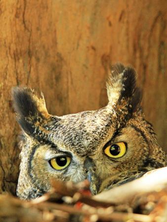 Great Horned Owl watching in California by Thomas Muehleisen