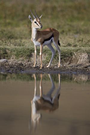 https://imgc.allpostersimages.com/img/posters/thomson-s-gazelle-gazella-thomsonii-buck-with-reflection_u-L-PWFJJ30.jpg?p=0