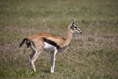 https://imgc.allpostersimages.com/img/posters/thomson-s-gazelle-gazella-thomsonii-female-giving-birth_u-L-PWFG2V0.jpg?p=0