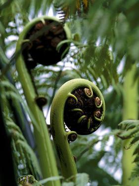 Baumfarn, Blattsprosse, Natur, Vegetation, Farn, Farne, Spross by Thonig