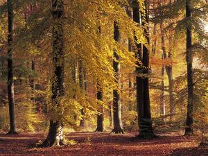 Buchenwald, Herbst, Wald, Bv¤Ume, Laubbv¤Ume, Buchen, Herbstlaub by Thonig