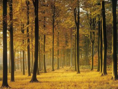 Buchenwald, Morgenstimmung, Herbst, Wald, Herbstwald, Bv¤Ume, Laubwald by Thonig