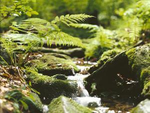 Forest, Brook, Vegetation, Moss, Ferns by Thonig