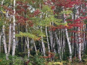 Forest, Trees, Birch, Maple, Autumn Foliage by Thonig