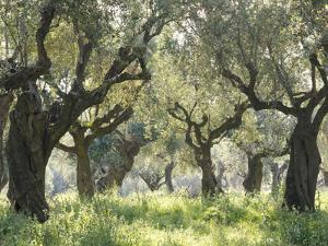 Greece, Olive Grove by Thonig