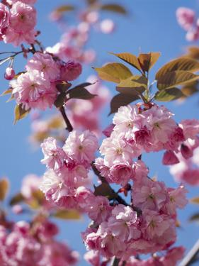 Japanese Cherry Tree, Detail, Branch, Blooms, Spring by Thonig