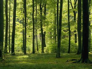 Laubwald, Buchenwald, Waldboden, Wald, Bv¤Ume, Buchen, Laubbv¤Ume by Thonig