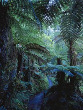 New Zealand, Rainforest, Vegetation, Tree Ferns, Cyatheaceae by Thonig