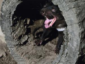 Tasmanian Devil, Sarcophilus Harrisii, Medium Close-Up by Thonig