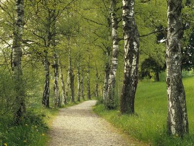Weg, Birken, Allee, Frv¼hling, Natur, Waldweg, Birkenallee