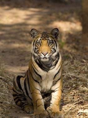 Bengal Tiger, Panthera Tigris Tigris, Bandhavgarh National Park, Madhya Pradesh, India, Asia by Thorsten Milse