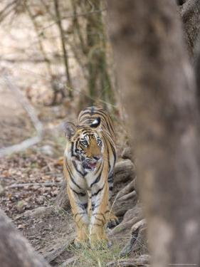 Bengal Tiger, Panthera Tigris Tigris, Bandhavgarh National Park, Madhya Pradesh, India by Thorsten Milse