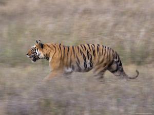 Bengal Tiger, Panthera Tigris Tigris, Bandhavgarh National Park, Madhya Pradesh, India by Thorsten Milse