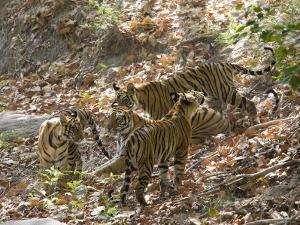 Bengal Tigers, Panthera Tigris Tigris, Bandhavgarh National Park, Madhya Pradesh, India by Thorsten Milse