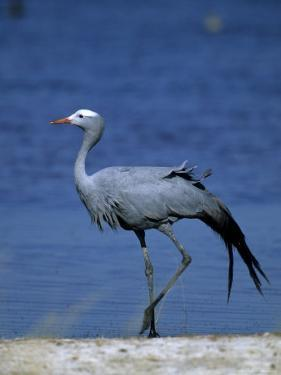 Blue Crane, Anthropoides Paradisea, Etosha National Park, Namibia, Africa by Thorsten Milse