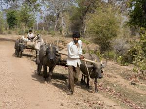 Bullock Carts, Tala, Bandhavgarh National Park, Madhya Pradesh, India by Thorsten Milse