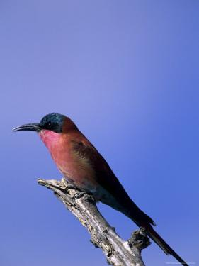 Carmine Bee-Eater, Merops Nubicus, Chobe National Park, Botswana, Africa by Thorsten Milse