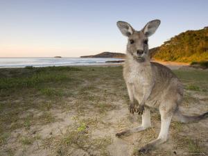 Eastern Grey Kangaroo, (Macropus Giganteus), Pebbly Beach, New South Wales, Australia by Thorsten Milse