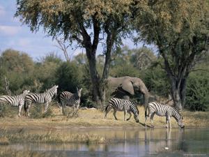 Elephant and Zebras at the Khwai River, Moremi Wildlife Reserve, Botswana, Africa by Thorsten Milse