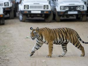 Female Indian Tiger, Bandhavgarh National Park, Madhya Pradesh State, India by Thorsten Milse